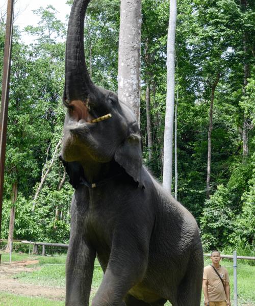 Elephant - Kuala Krau